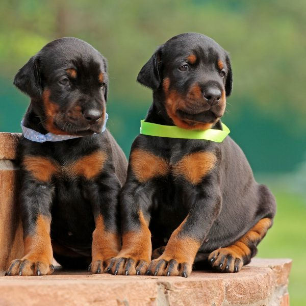 two doberman pinscher puppies sitting on a step