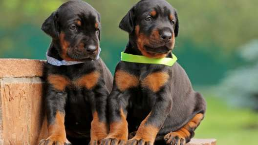 5 Things to Know About Doberman Pinscher Puppies