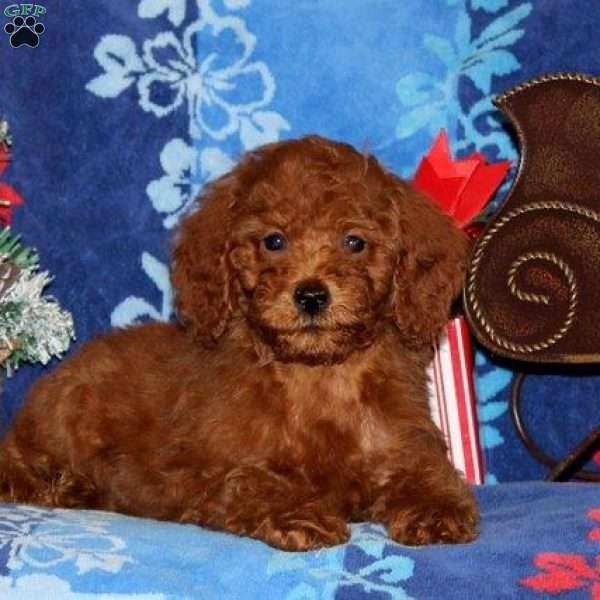 Ruby, Toy Poodle Puppy