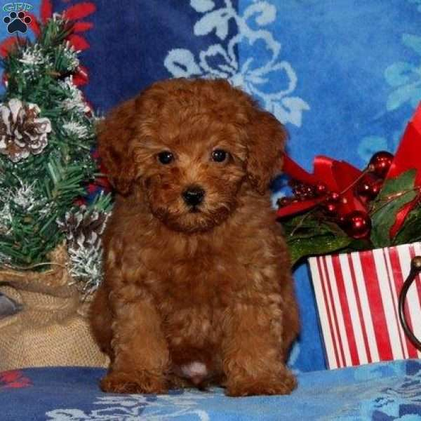 Reddy, Toy Poodle Puppy