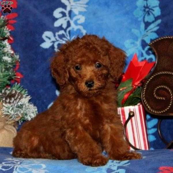 Rose, Toy Poodle Puppy