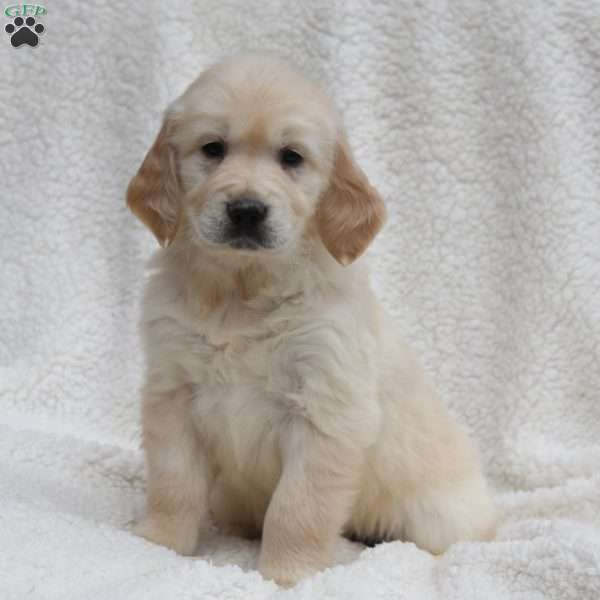 Adore, English Cream Golden Retriever Puppy