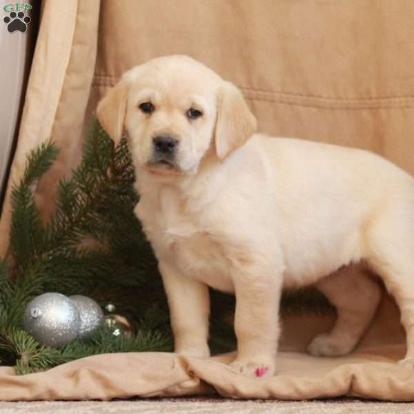 Bailey, Golden Labrador Puppy