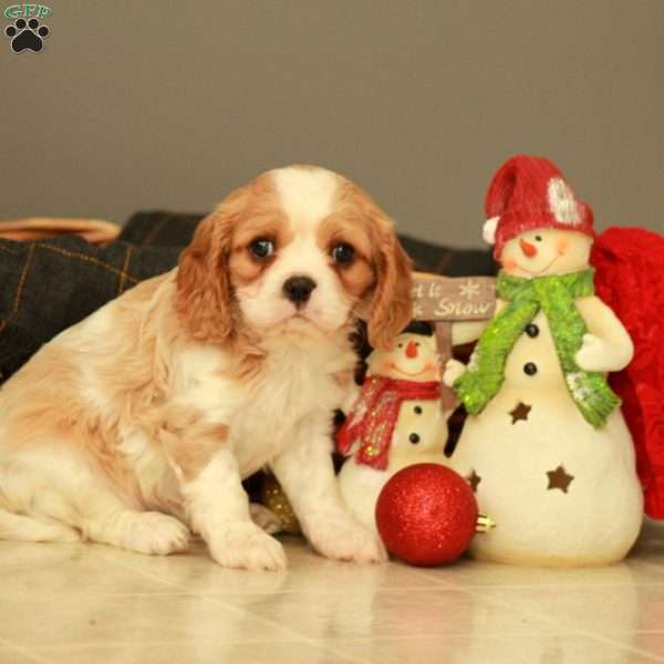 Beamer, Cavalier King Charles Mix Puppy