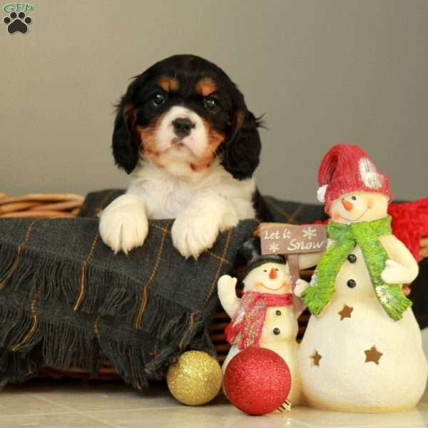 Bently, Cavalier King Charles Mix Puppy