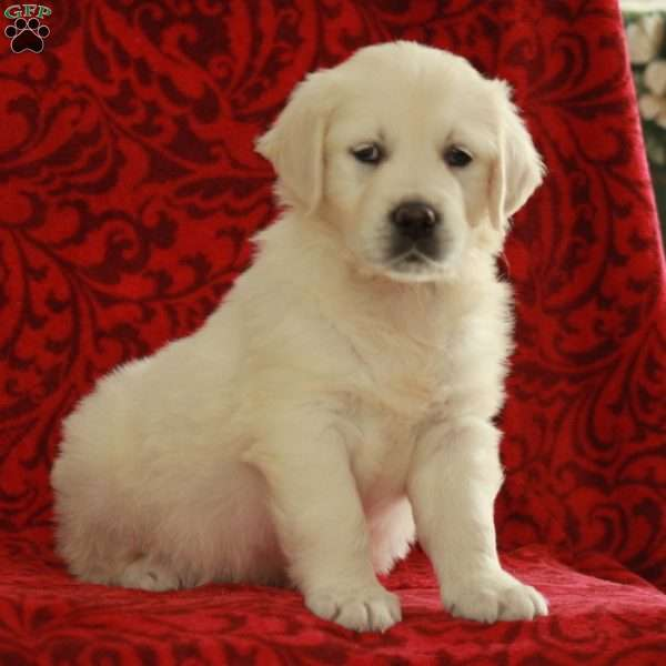 Betsy, English Cream Golden Retriever Puppy
