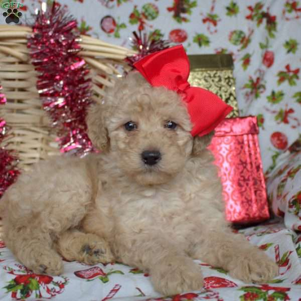 Blessing, Toy Poodle Puppy