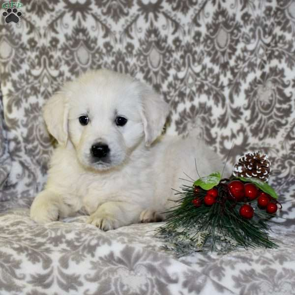Blitzen, English Cream Golden Retriever Puppy