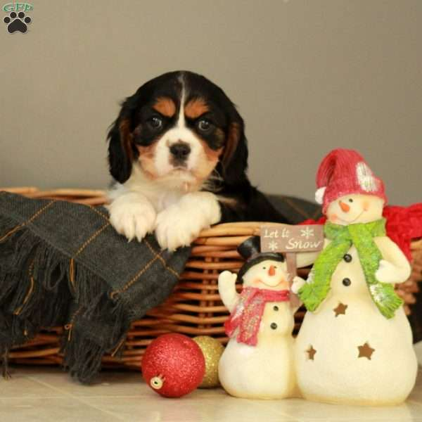 Brandy, Cavalier King Charles Mix Puppy