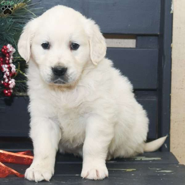 Caden, English Cream Golden Retriever Puppy
