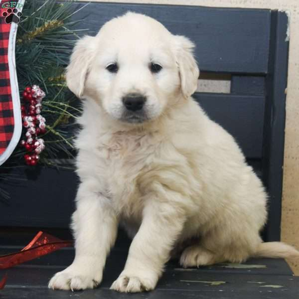 Caesar, English Cream Golden Retriever Puppy