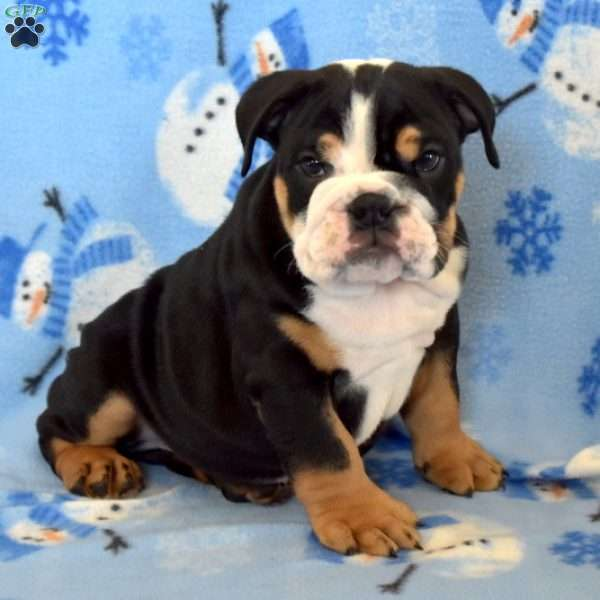 Chief, English Bulldog Puppy