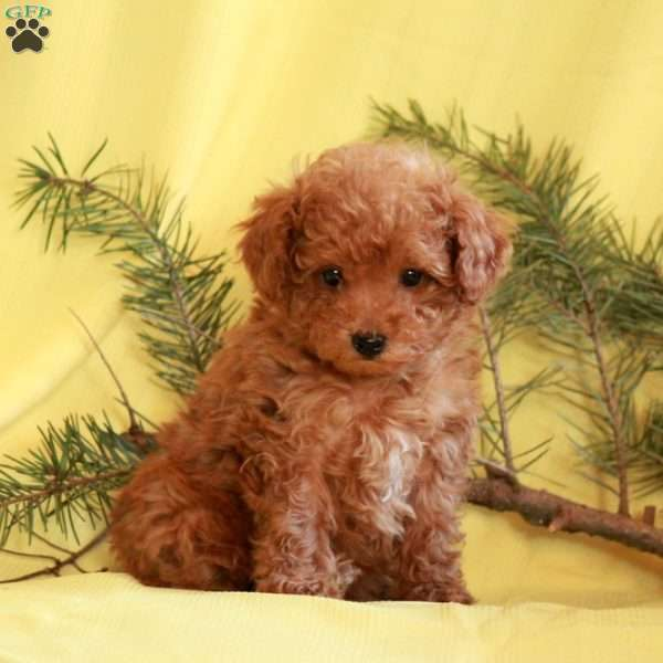 Chip, Toy Poodle Puppy