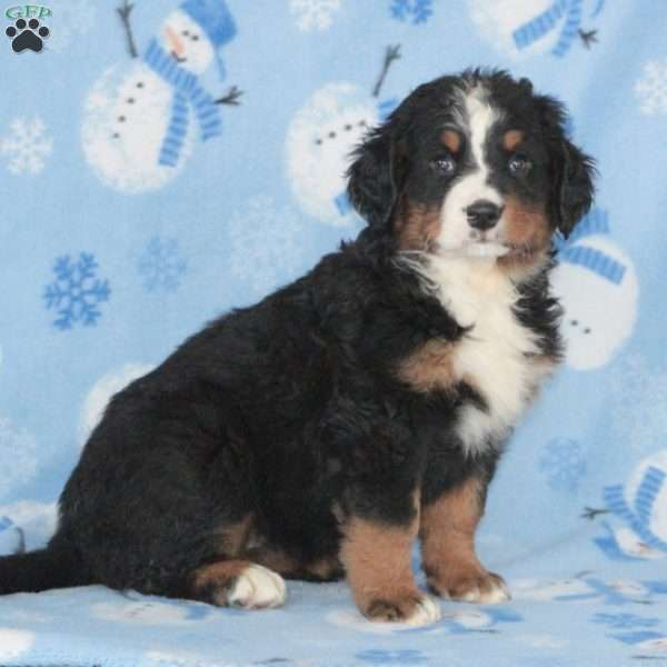 Coco, Bernese Mountain Dog Puppy