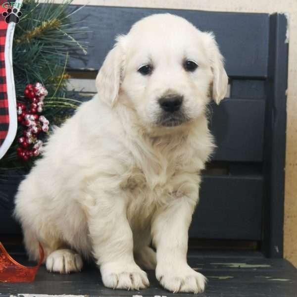 Conan, English Cream Golden Retriever Puppy