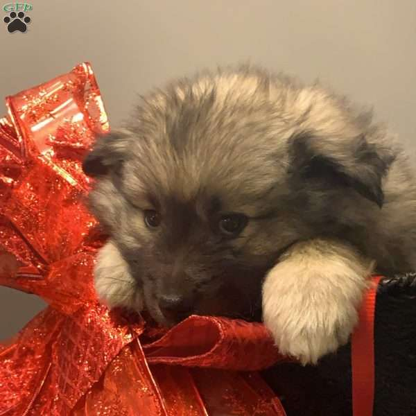 Cooper - Keeshond Mix Puppy For Sale in Iowa