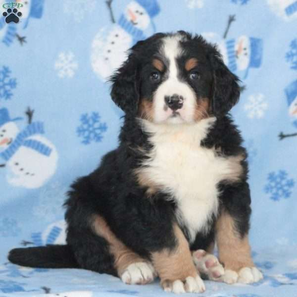 Copper, Bernese Mountain Dog Puppy
