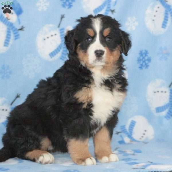 Crystal, Bernese Mountain Dog Puppy