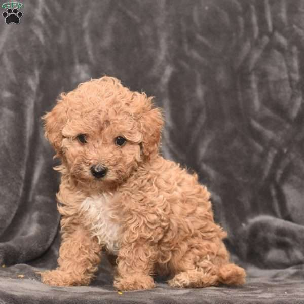 Daisy, Toy Poodle Puppy