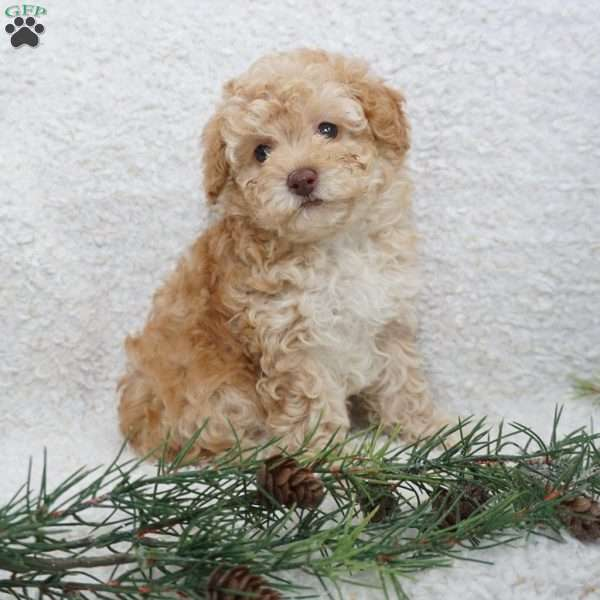 Desi, Toy Poodle Puppy