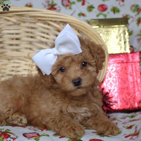 Dolly, Toy Poodle Puppy