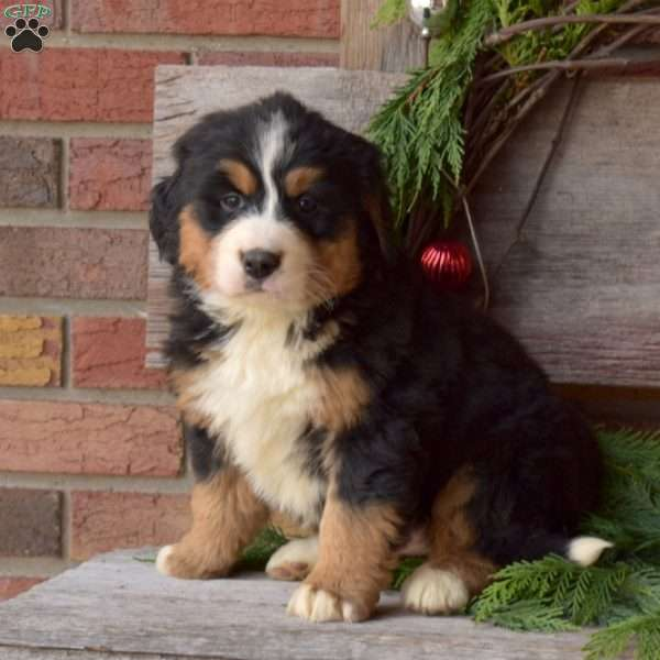 Dolly, Labernese Puppy