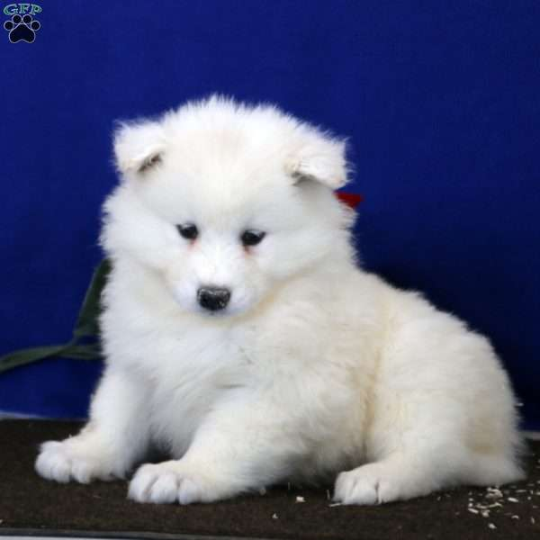 Emma, Samoyed Puppy