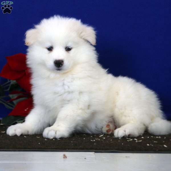 Eric, Samoyed Puppy