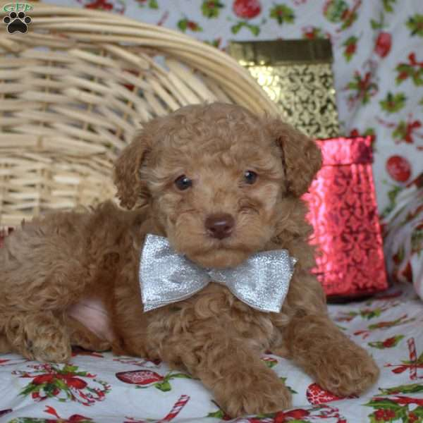 Ethan, Toy Poodle Puppy