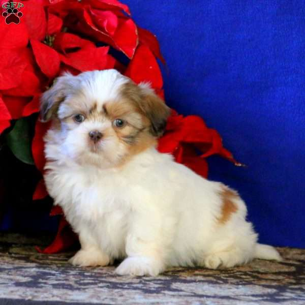 Evan, Shih Tzu Puppy