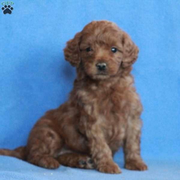 Feather, Miniature Poodle Puppy