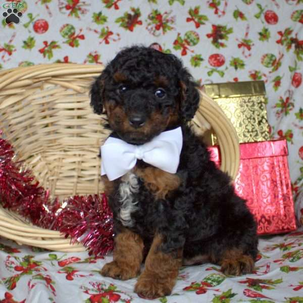 Henry, Toy Poodle Puppy