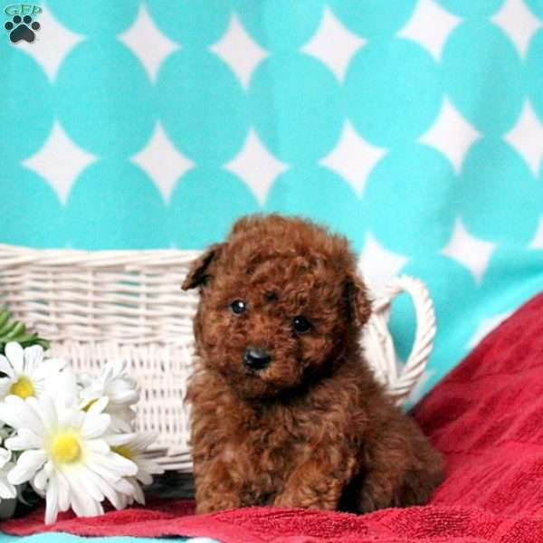 Holly, Toy Poodle Puppy
