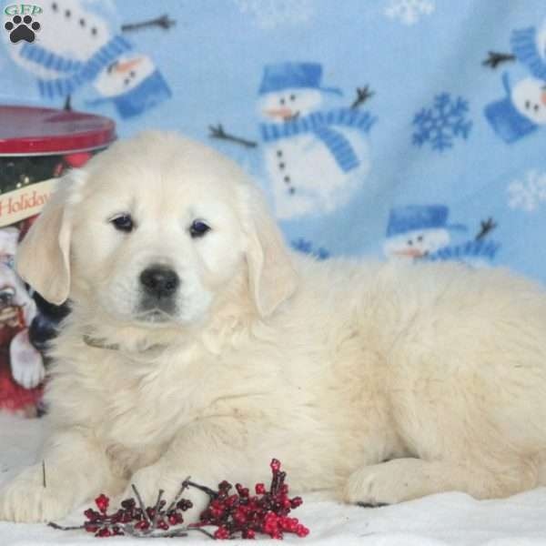 Hope, English Cream Golden Retriever Puppy