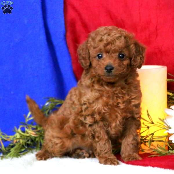 Jiffy, Toy Poodle Puppy