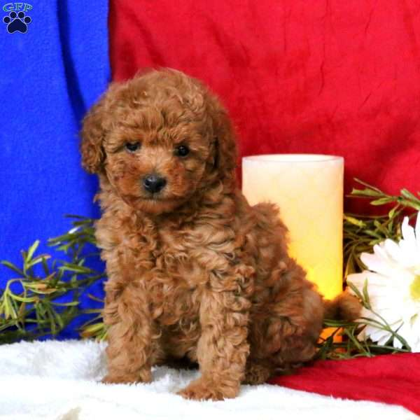 Jingles, Toy Poodle Puppy