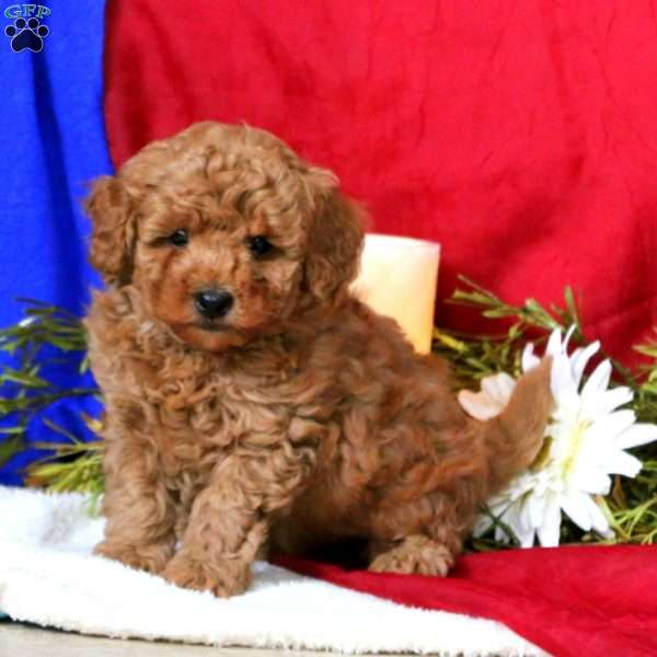 Joey, Toy Poodle Puppy