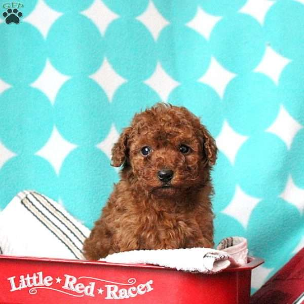 Jolly, Toy Poodle Puppy