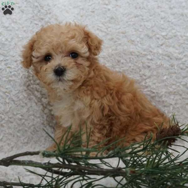 Karlie, Toy Poodle Puppy