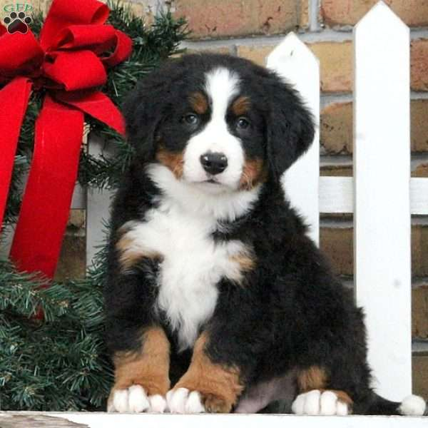 Leo, Bernese Mountain Dog Puppy