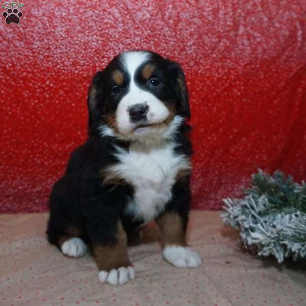 Lightning, Bernese Mountain Dog Puppy