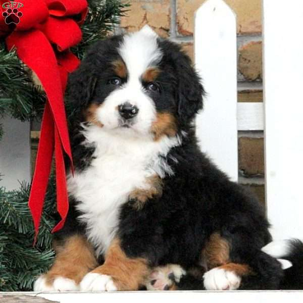 Lily, Bernese Mountain Dog Puppy