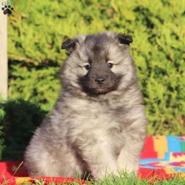 Lily, Keeshond Puppy