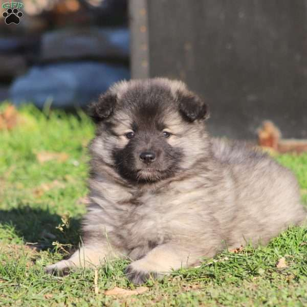 Lolly, Keeshond Puppy