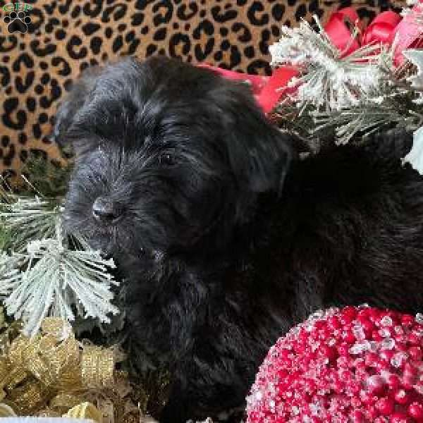 Mary, Mini Whoodle Puppy