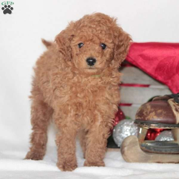 Max, Toy Poodle Puppy