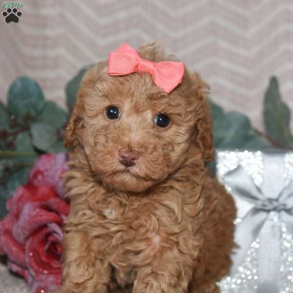 Mercy, Toy Poodle Puppy