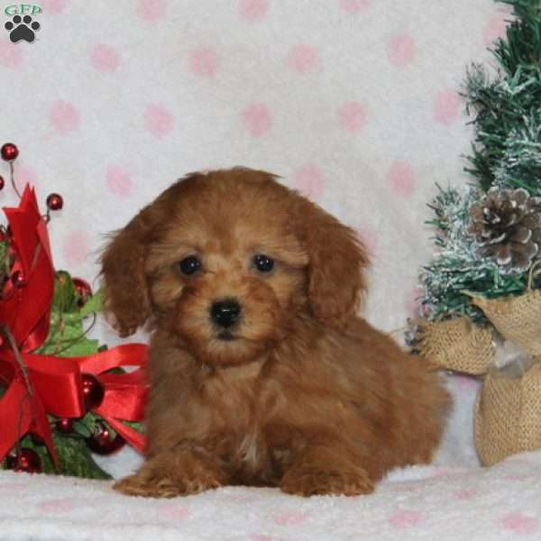 Merry, Toy Poodle Puppy