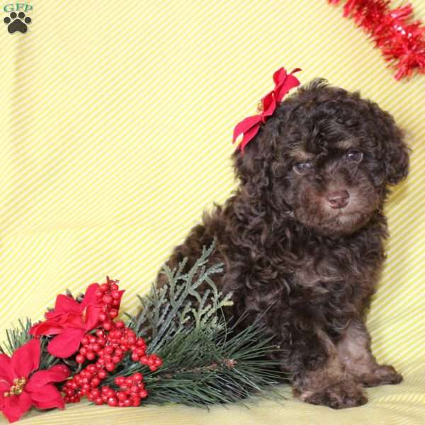 Nala, Toy Poodle Puppy