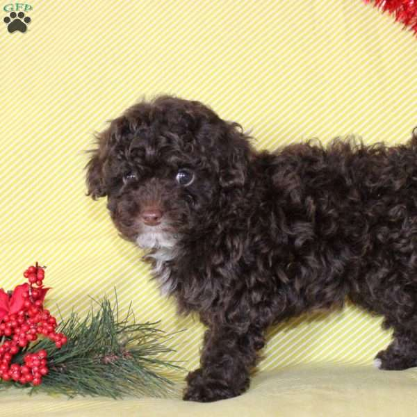 Nathan, Toy Poodle Puppy